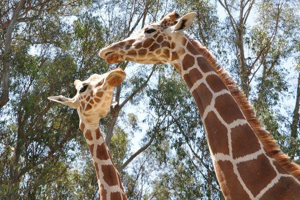 Teaser_giraffeencounter2013_sanf