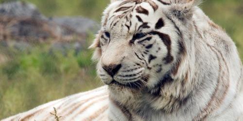 Bangal Tigers