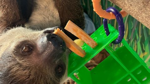A sloth hanging upside down and eating