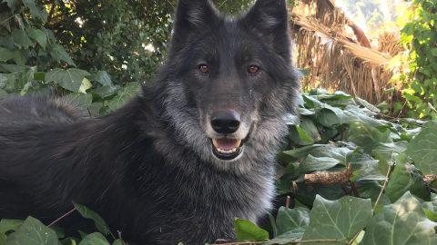 Wyatt the wolf in sitting in some ivy